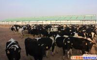 养牛到哪可以拿到贷款?养牛贷款需要什么条件