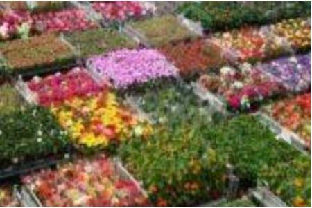 全球最大鲜花批发市场-荷兰阿斯米尔鲜花市场简介
