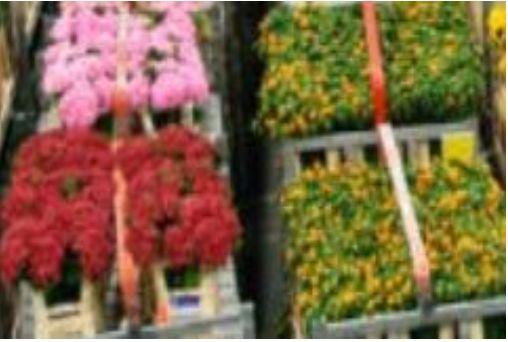 荷兰阿斯米尔鲜花市场地址及营业时间一览