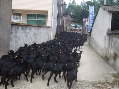 她和丈夫生意失利,回农村再创业养羊,一干就是30年